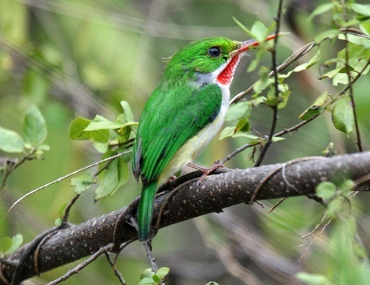 Picture of a puerto rican tody (Todus mexicanus)