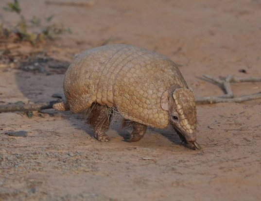 Picture of a southern three-banded armadillo (Tolypeutes matacus)