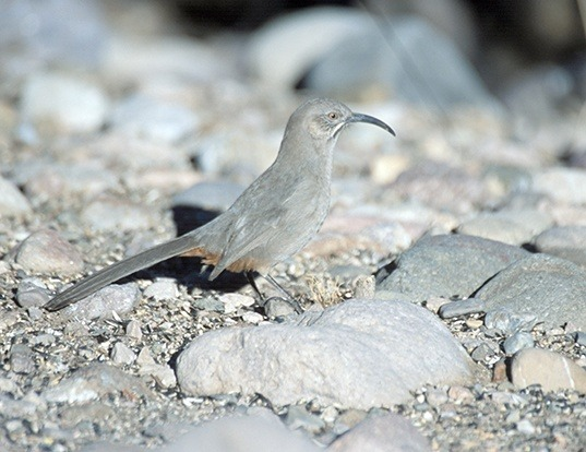 Picture of a crissal thrasher (Toxostoma crissale)