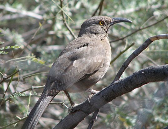 Picture of a curve-billed thrasher (Toxostoma curvirostre)