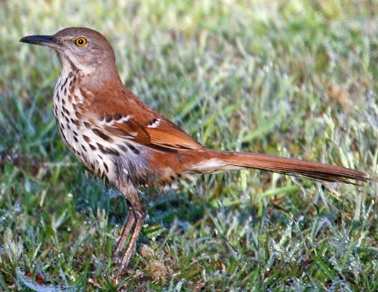 Picture of a brown thrasher (Toxostoma rufum)