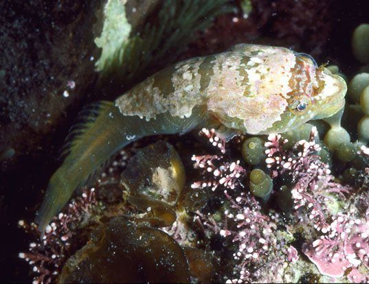 Picture of a striped clingfish (Trachelochismus melobesia)