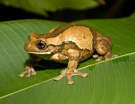 Picture of a marbled treefrog (Trachycephalus venulosus)