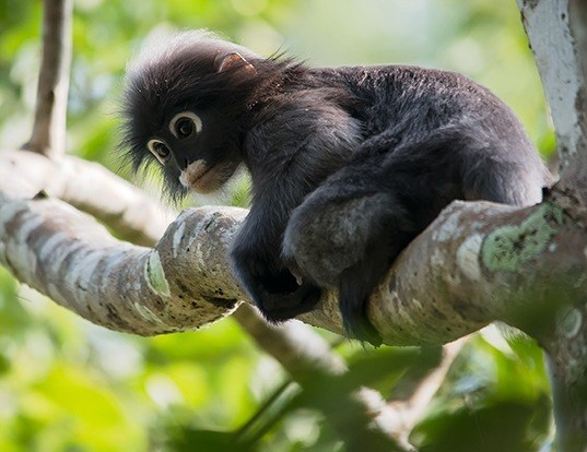 Picture of a dusky leaf monkey (Trachypithecus obscurus)