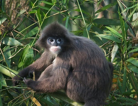 Picture of a phayre's leaf monkey (Trachypithecus phayrei)