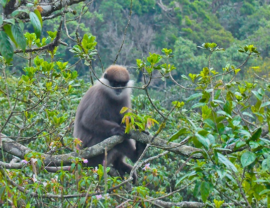 Picture of a purple-faced langur (Trachypithecus vetulus)