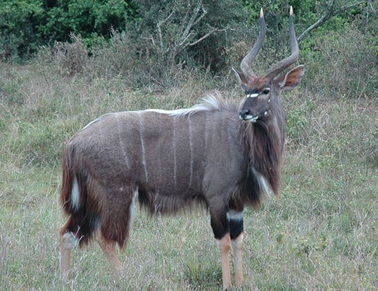 Picture of a nyala (Tragelaphus angasii)