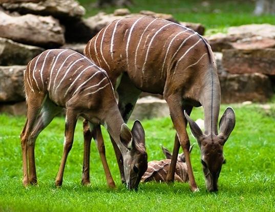 Picture of a lesser kudu (Tragelaphus imberbis)