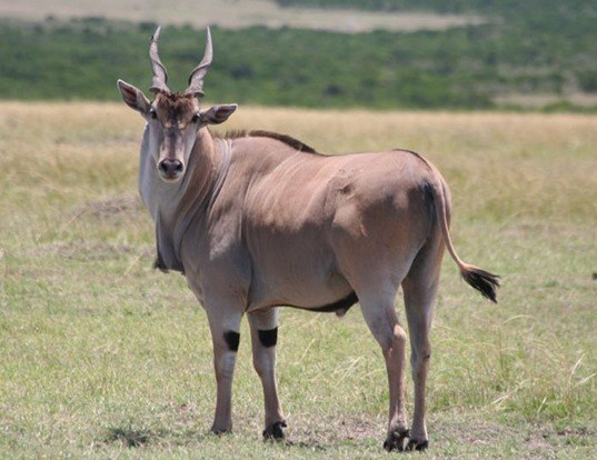 Picture of a eland (Tragelaphus oryx)