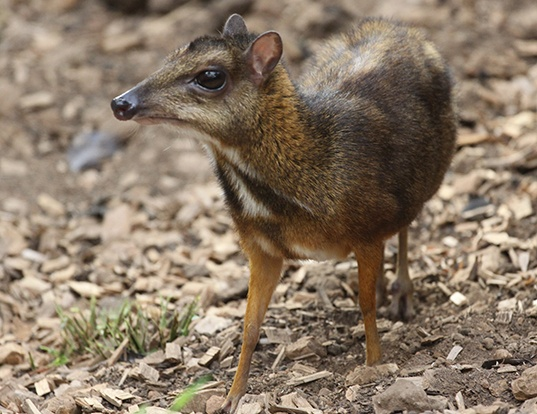 Picture of a javan chevrotain (Tragulus javanicus)