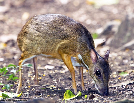 Picture of a greater oriental chevrotain (Tragulus napu)