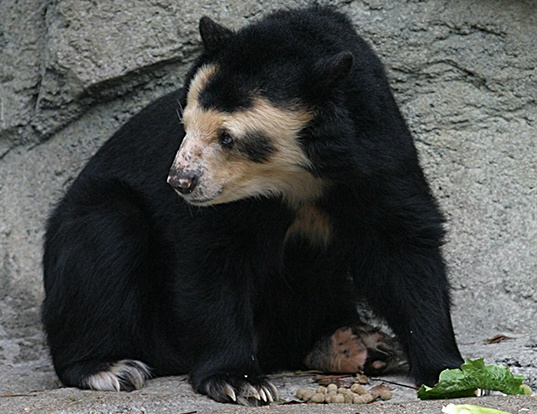 Picture of a spectacled bear (Tremarctos ornatus)