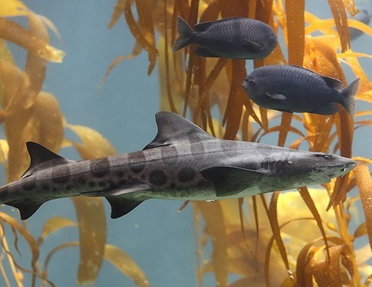 Picture of a leopard shark (Triakis semifasciata)