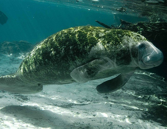 Picture of a west indian manatee (Trichechus manatus)