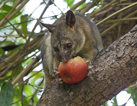 Picture of a northern brushtail (Trichosurus arnhemensis)