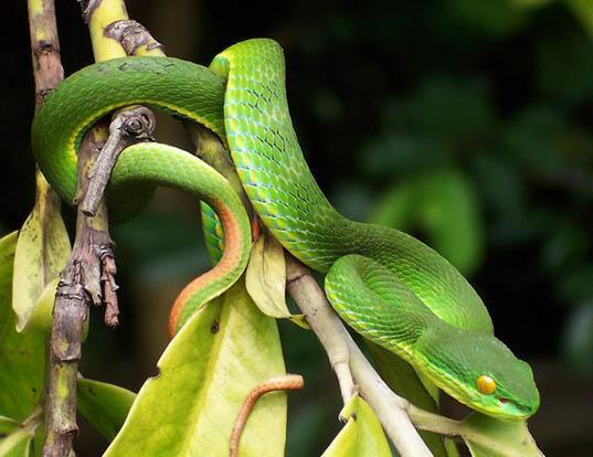 Picture of a white-lipped tree viper (Trimeresurus albolabris)