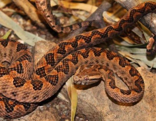 Picture of a elegant pit viper (Trimeresurus elegans)