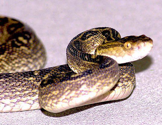 Picture of a habu (Trimeresurus flavoviridis)