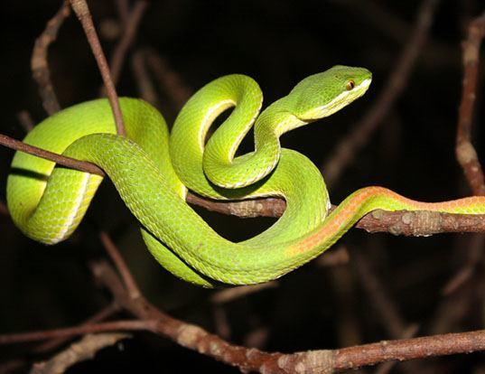 Picture of a bamboo viper (Trimeresurus gramineus)