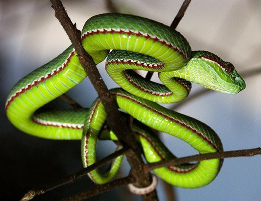 Picture of a pope's tree viper (Trimeresurus popeorum)