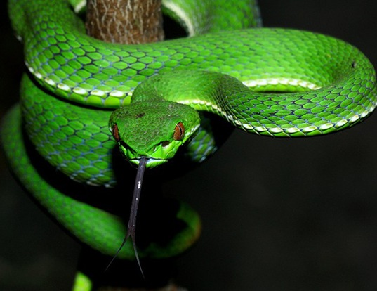 Picture of a chinese green tree viper (Trimeresurus steonegeri)