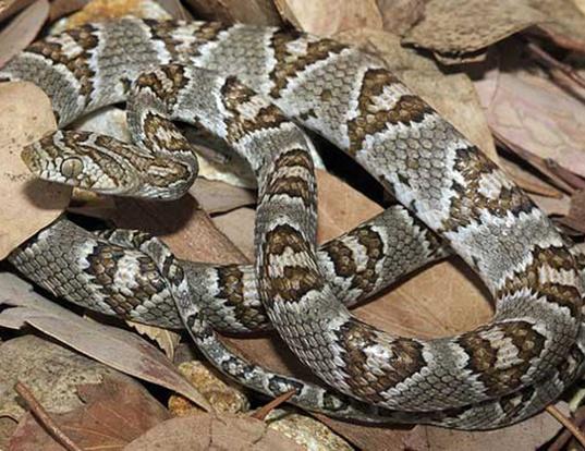 Picture of a sonoran lyre snake (Trimorphodon lambda)