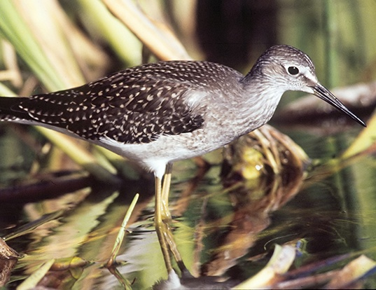 Picture of a lesser yellowlegs (Tringa flavipes)