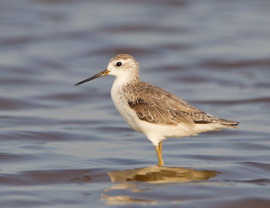 Picture of a marsh sandpiper (Tringa stagnatilis)