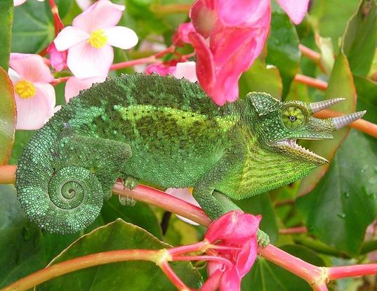 Picture of a jackson's three-horned chameleon (Trioceros jacksonii)