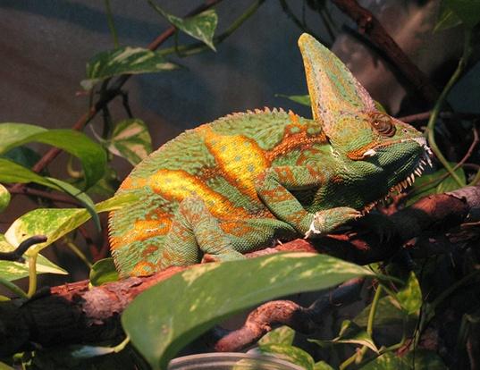 Picture of a meller's chameleon (Trioceros melleri)