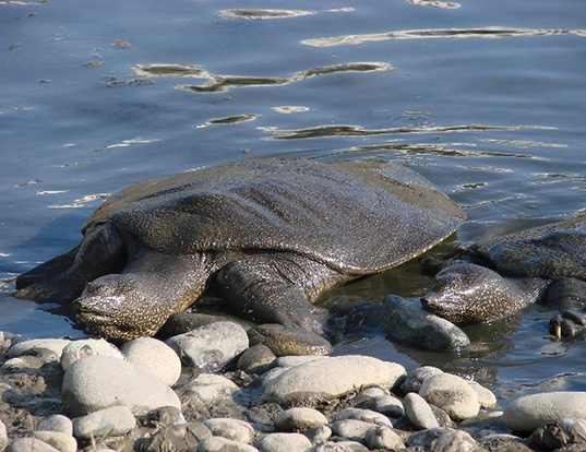 Picture of a african softshell turtle (Trionyx triunguis)