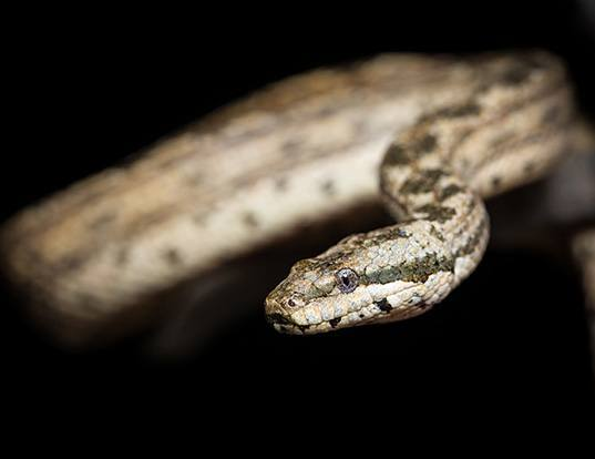 Picture of a cayman islands dwarf boa (Tropidophis caymanensis)