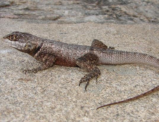 Picture of a brazilian taraguira lizard (Tropidurus hispidus)