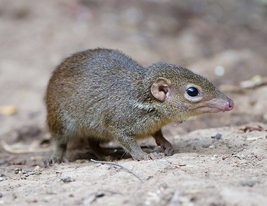 Picture of a northern tree shrew (Tupaia belangeri)