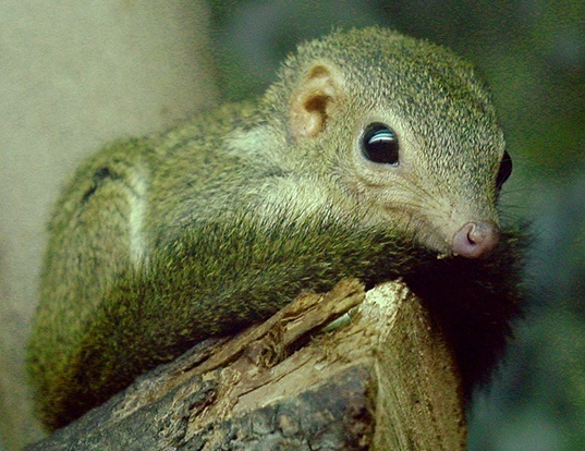 Picture of a lesser treeshrew (Tupaia minor)