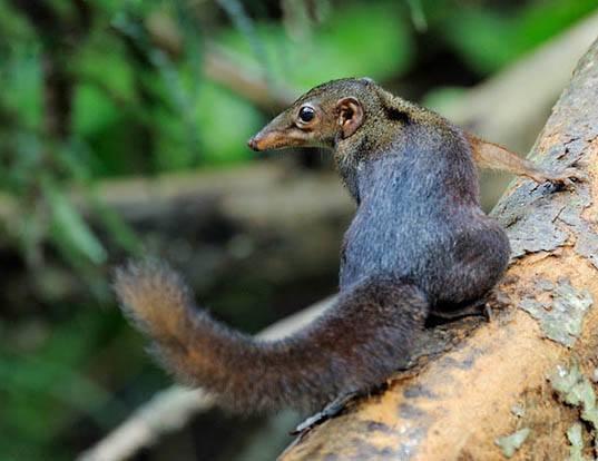 Picture of a large tree shrew (Tupaia tana)