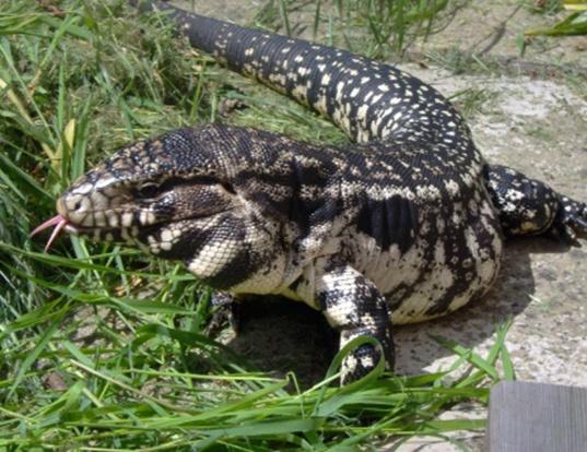 Picture of a s. american black-pointed tegu lizard (Tupinambis nigropunctatus)