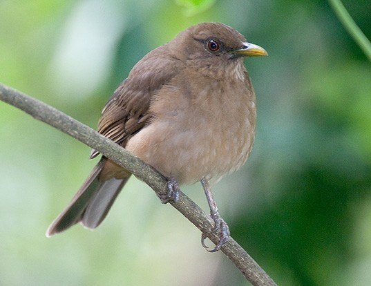 Picture of a clay-coloured thrush (Turdus grayi)