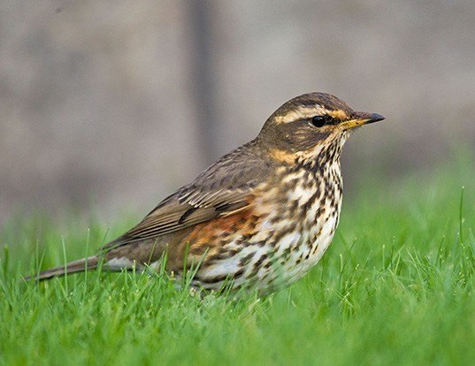 Picture of a redwing (Turdus iliacus)