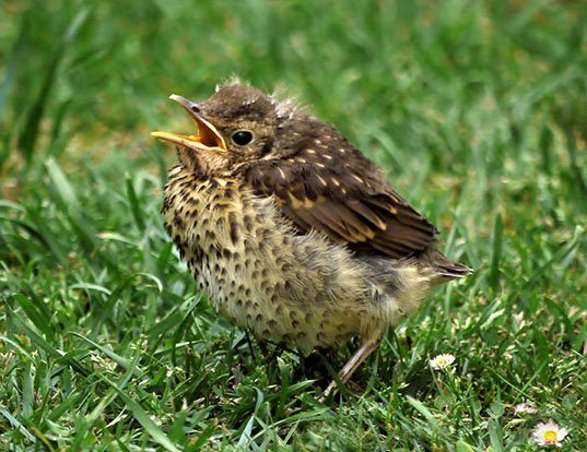 Picture of a song thrush (Turdus philomelos)