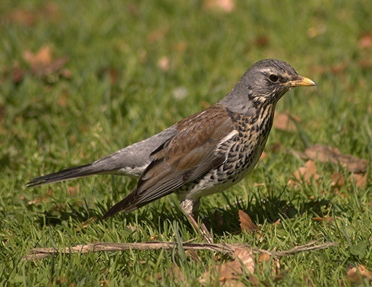 Picture of a fieldfare (Turdus pilaris)