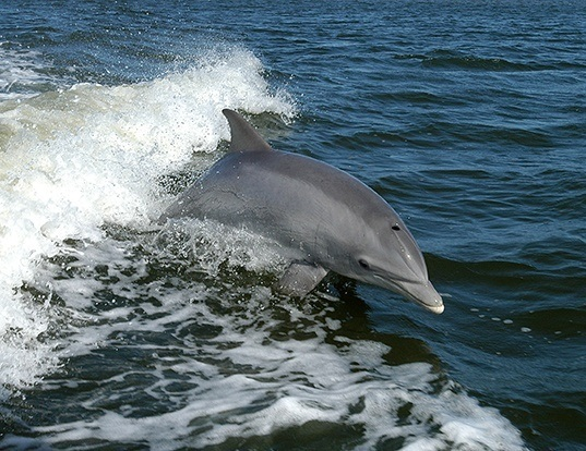 Picture of a bottlenosed dolphin (Tursiops truncatus)