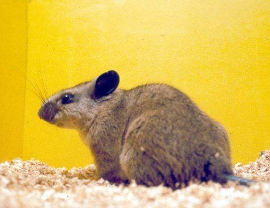 Picture of a peters's climbing rat (Tylomys nudicaudus)