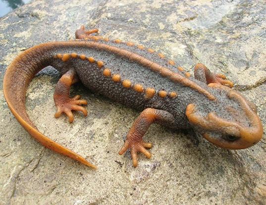 Picture of a crocodile newt (Tylototriton verrucosus)