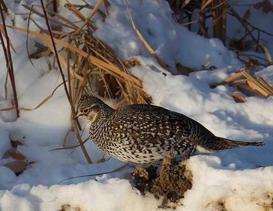 Picture of a sharp-tailed grouse (Tympanuchus phasianellus)