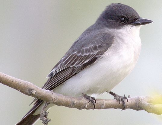 Picture of a eastern kingbird (Tyrannus tyrannus)