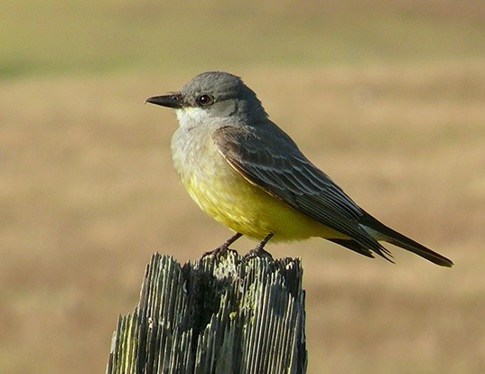 Picture of a western kingbird (Tyrannus verticalis)