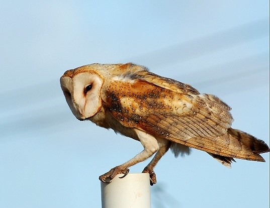 Picture of a barn-owl (Tyto alba)