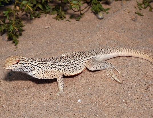 Picture of a colorado desert fringe-toed lizard (Uma notata)