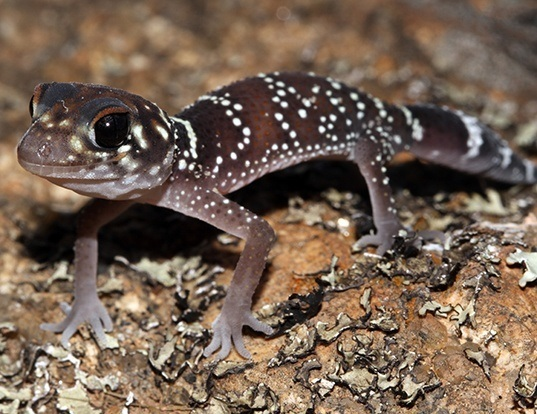 Picture of a thick-tailed gecko (Underwoodisaurus milii)